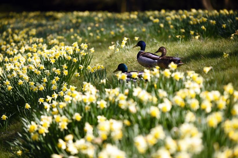 Mallard ducks amongst daffodils in the garden at Erddig, Wrexham, Wales